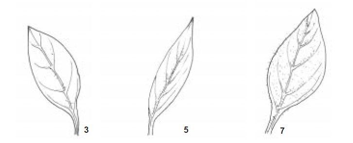 Leafpubescens.jpg