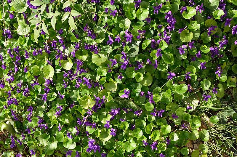 viole.jpg