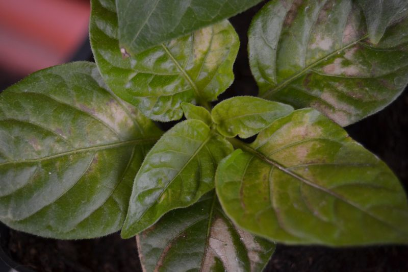 Macchie sulle foglie sulle piante all' aperto Problemi