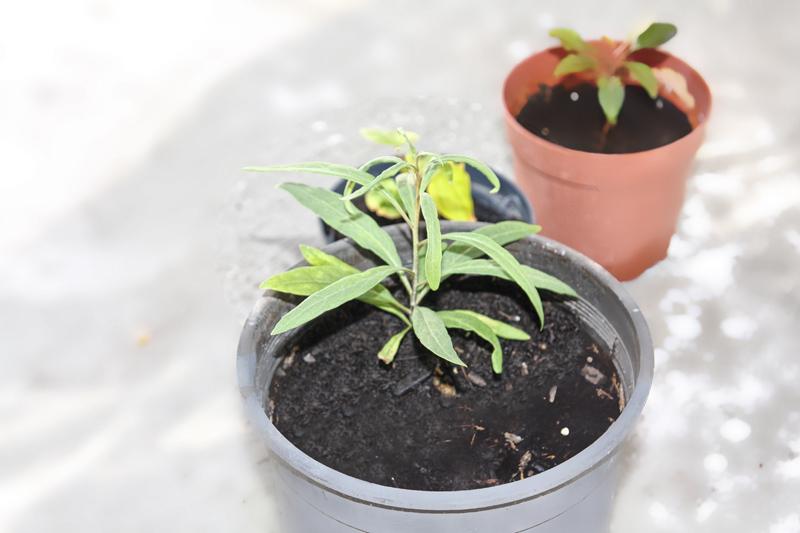 Goji Vendita Piante: Come coltivare il goji lycium barbarum dal seme giardina...