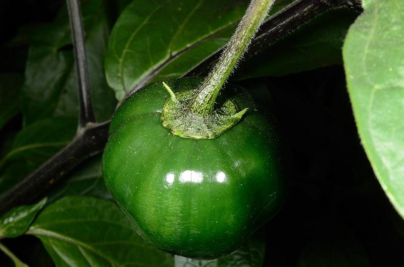 Attached Image: pubescens_frutto.jpg