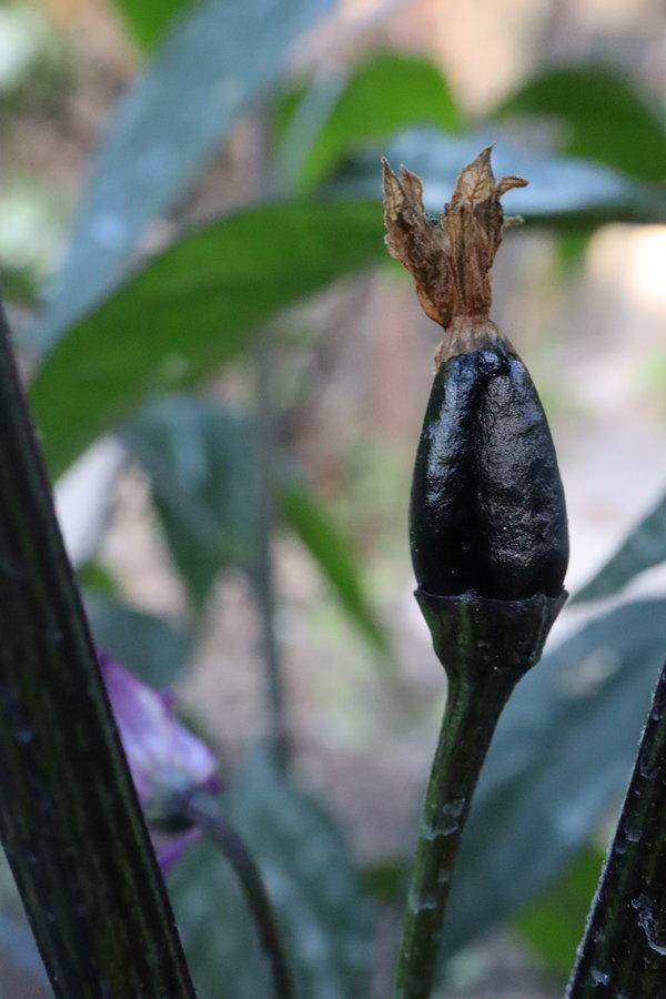 black mexican piquin 2.JPG