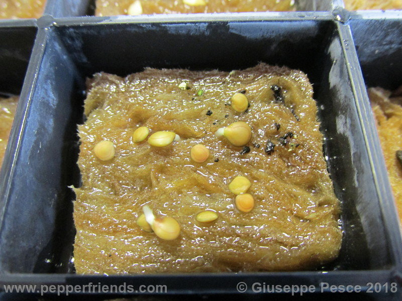MimosaPudica003.jpg.f98f25a6d513a83d99bb2a7195c3ebb7.jpg