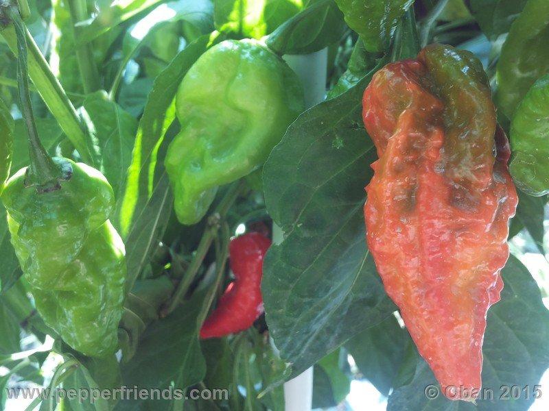 bhut-jolokia_002_frutto_05.jpg