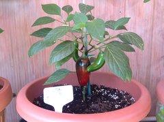 jalapeno dark red