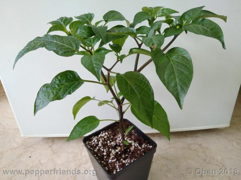 jalapeno-brown_002_pianta_03.jpg