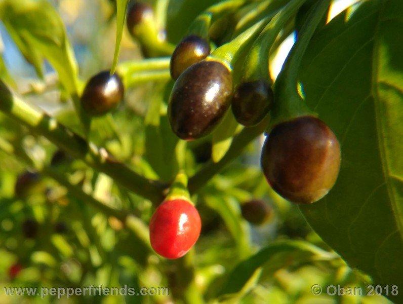 chiltepin-national-park-of-tikal-guatemala_001_frutto_15.jpg