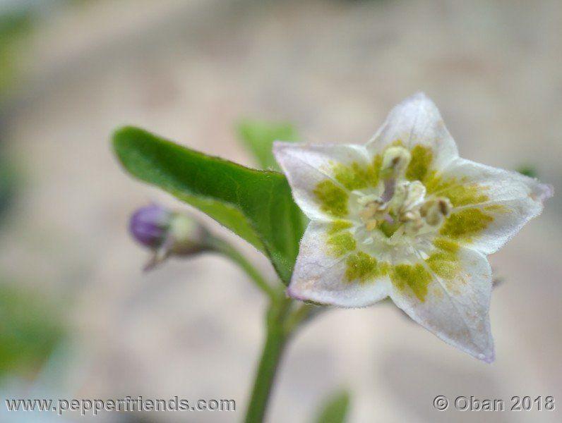 eximium_white_flower_002_fiore_08.jpg