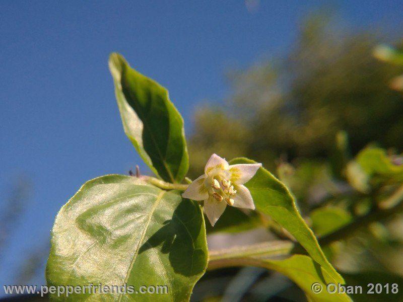 eximium_white_flower_002_fiore_24.jpg