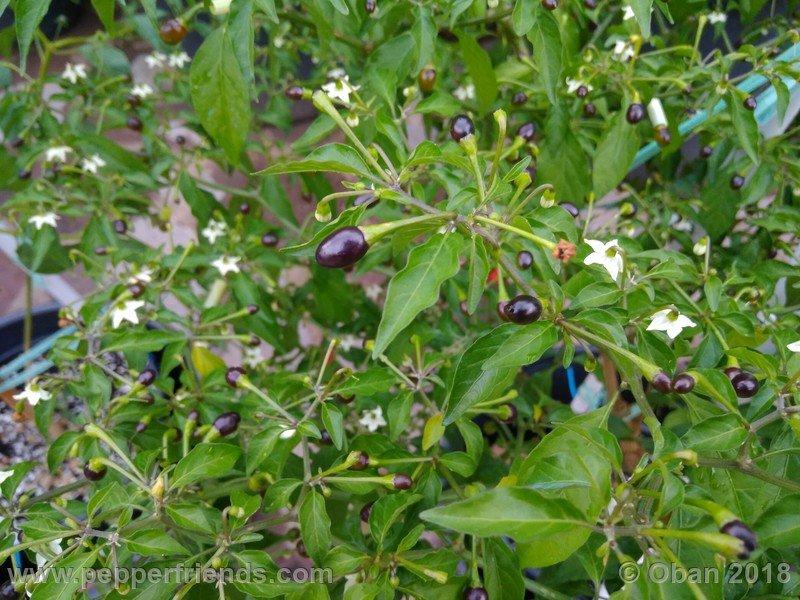 nome-cultivar_001_pianta_11.jpg