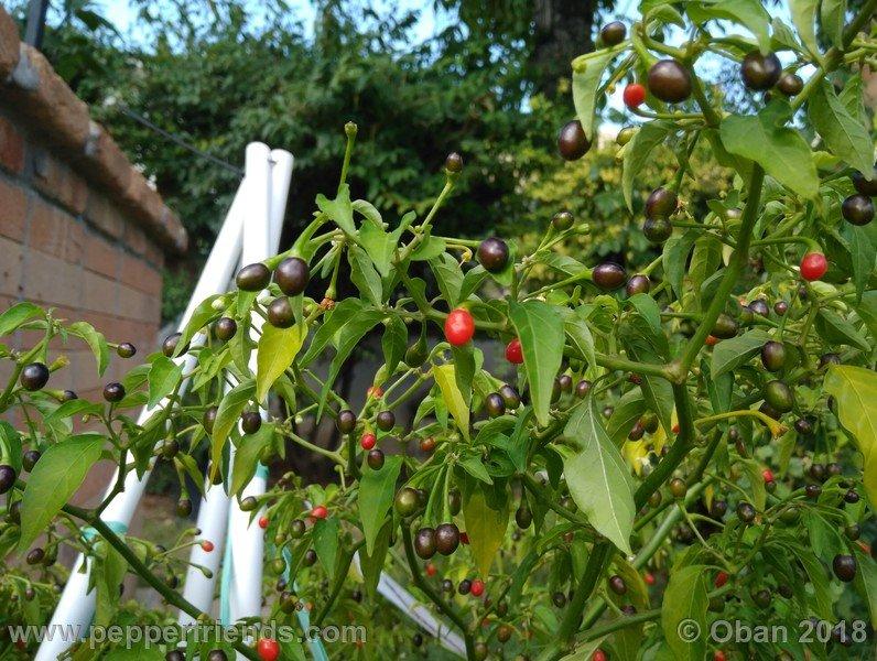 nome-cultivar_001_pianta_17.jpg
