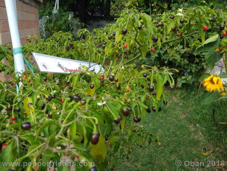 nome-cultivar_001_pianta_18.jpg