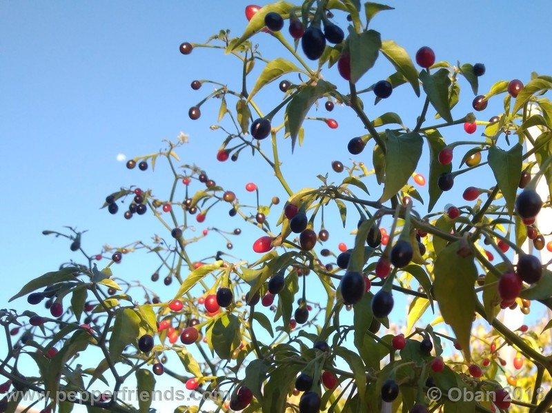 nome-cultivar_001_pianta_21.jpg