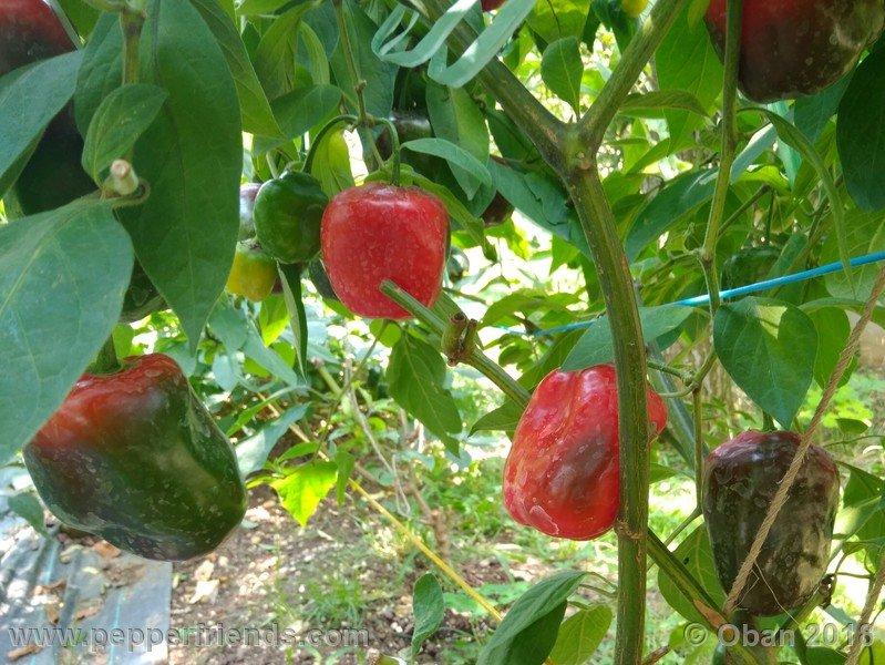 rocoto-chicon_002_frutto_08.jpg