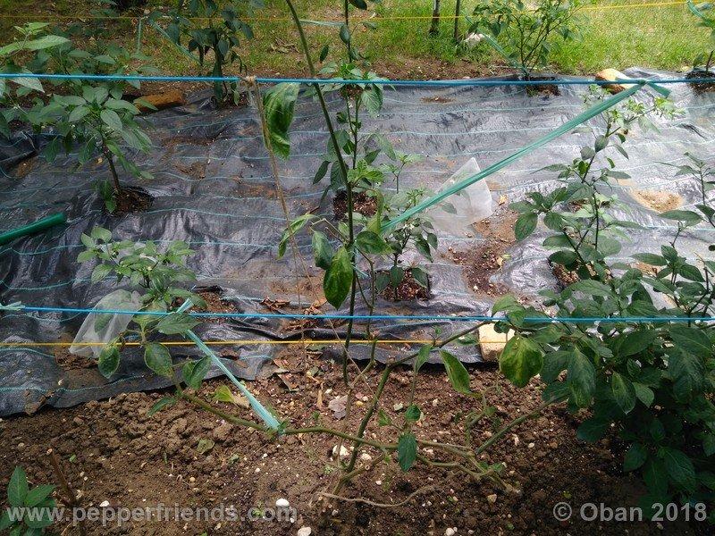 rocoto-oval_002_pianta_01.jpg