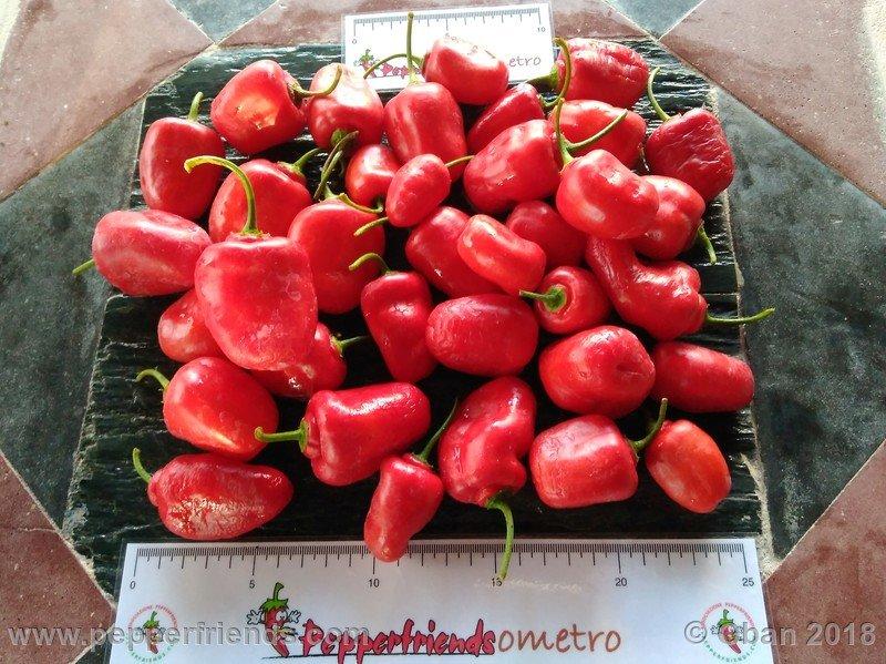 rocoto-sisidro_003_frutto_23.jpg