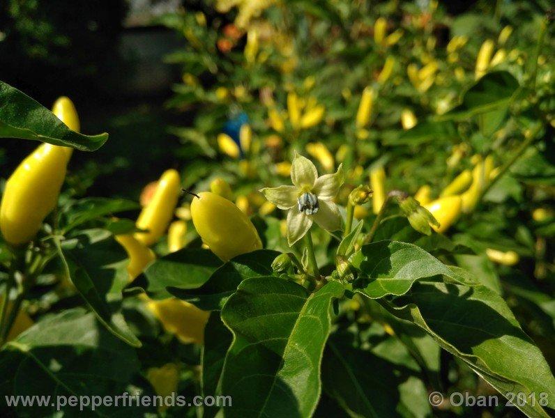 tabasco-greenleaf_002_frutto_09.jpg