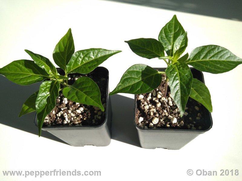 tabasco-greenleaf_002_pianta_02.jpg