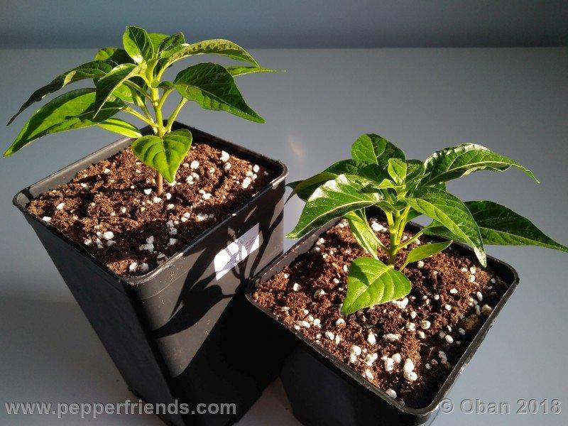 tabasco-greenleaf_002_pianta_03.jpg
