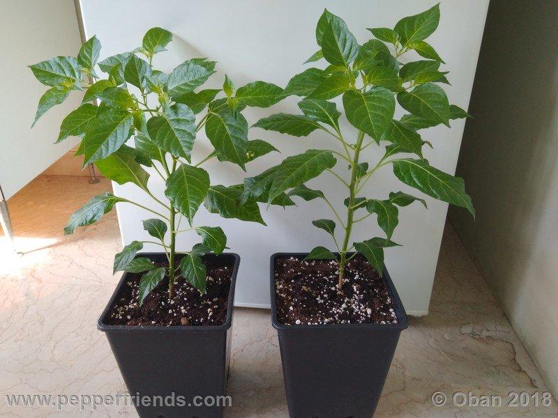 tabasco-greenleaf_002_pianta_06.jpg
