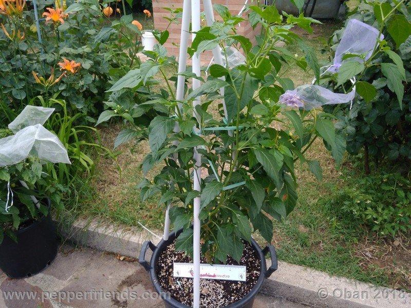 tabasco-greenleaf_002_pianta_09.jpg