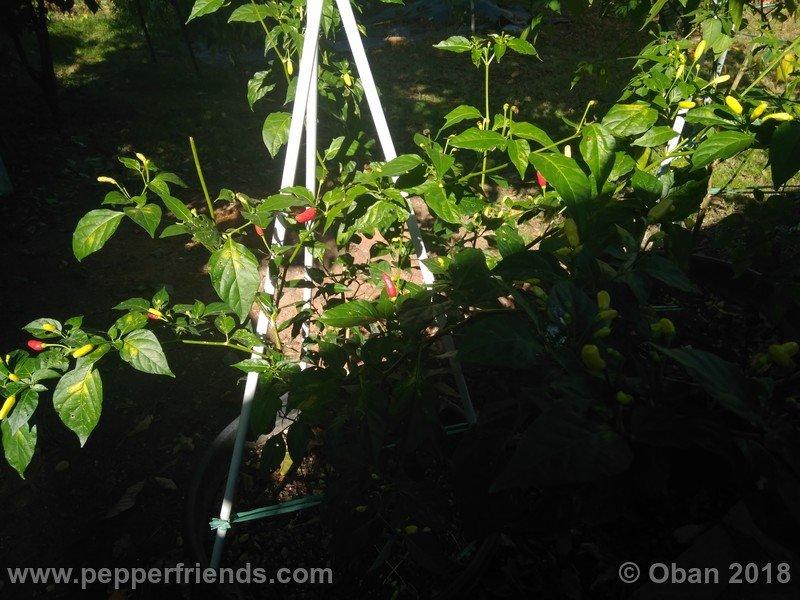 tabasco-greenleaf_002_pianta_14.jpg