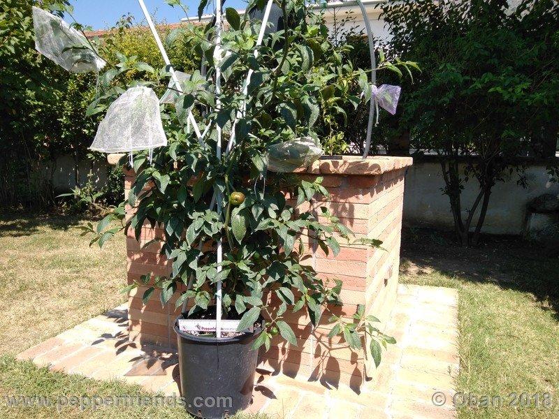 rocoto-big-brown_001_pianta_13.jpg
