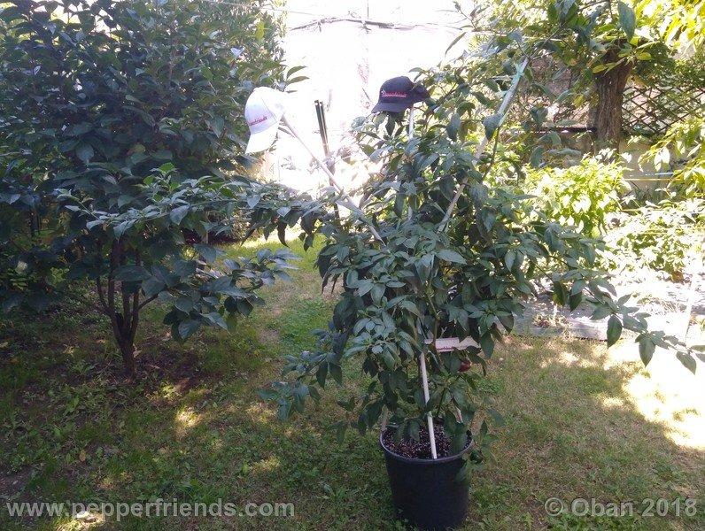 rocoto-big-brown_001_pianta_15.jpg