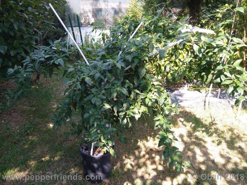 rocoto-big-brown_001_pianta_16.jpg