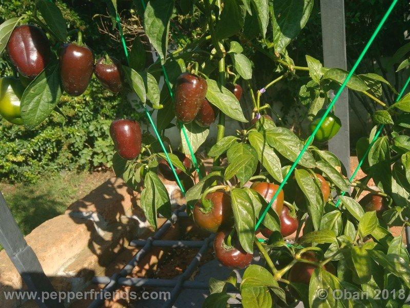 rocoto-big-brown_002_frutto_09.jpg