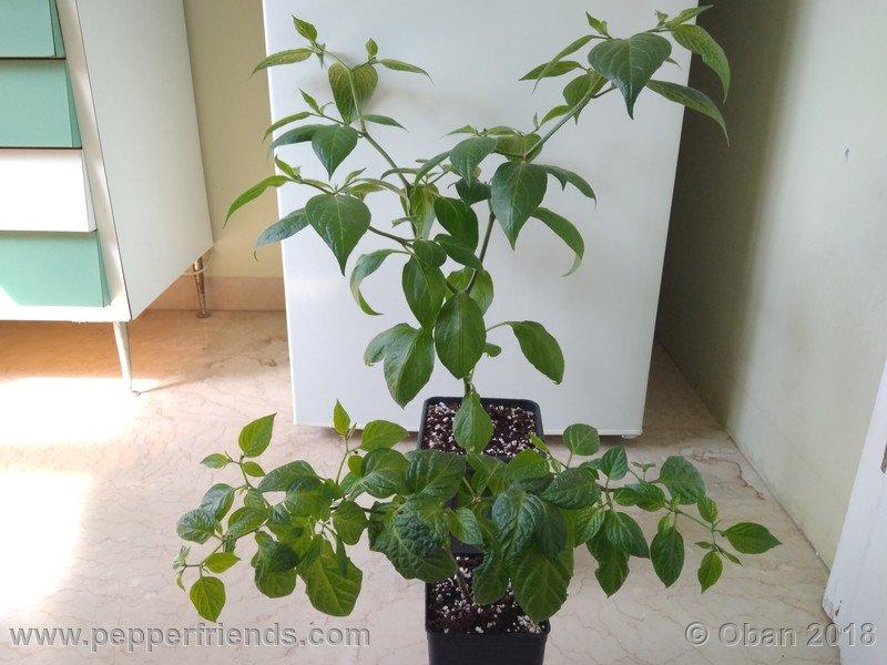 rocoto-big-brown_002_pianta_05.jpg