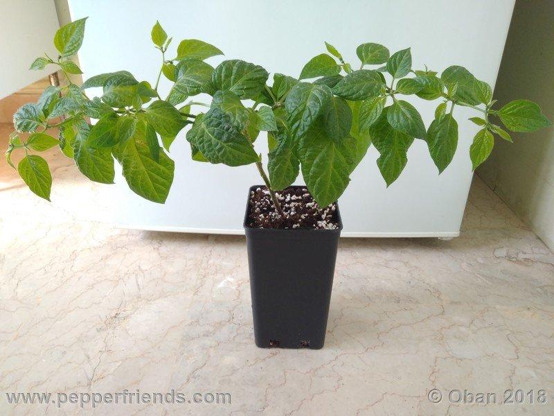 rocoto-big-brown_002_pianta_06.jpg