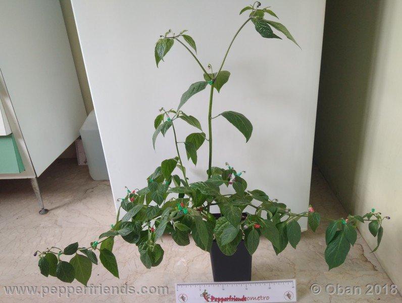 rocoto-big-brown_002_pianta_08.jpg