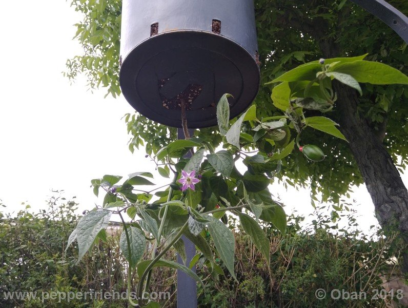 rocoto-big-brown_002_pianta_10.jpg