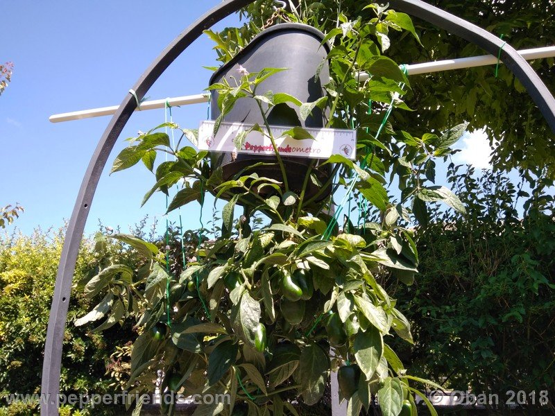 rocoto-big-brown_002_pianta_13.jpg