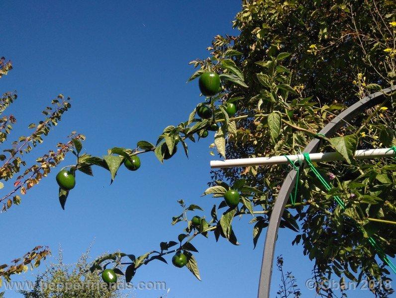 rocoto-big-brown_002_pianta_24.jpg