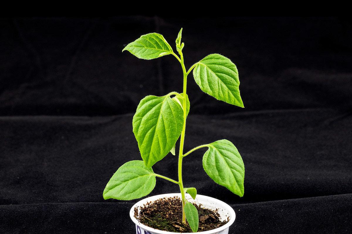 C.cardenasii-USDA-X-C.eximium-CAP-500.jpg.e65b97f9fcd862ca958c4ee5f797eebf.jpg