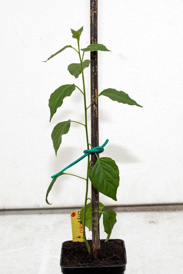 C.cardenasii-USDA-X-C.eximium-CAP-500.jpg.5f7b4276e09335314064805478b113aa.jpg