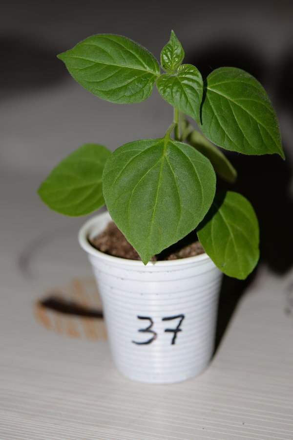 mini rocoto brown X USDA cardenasii (F2).JPG