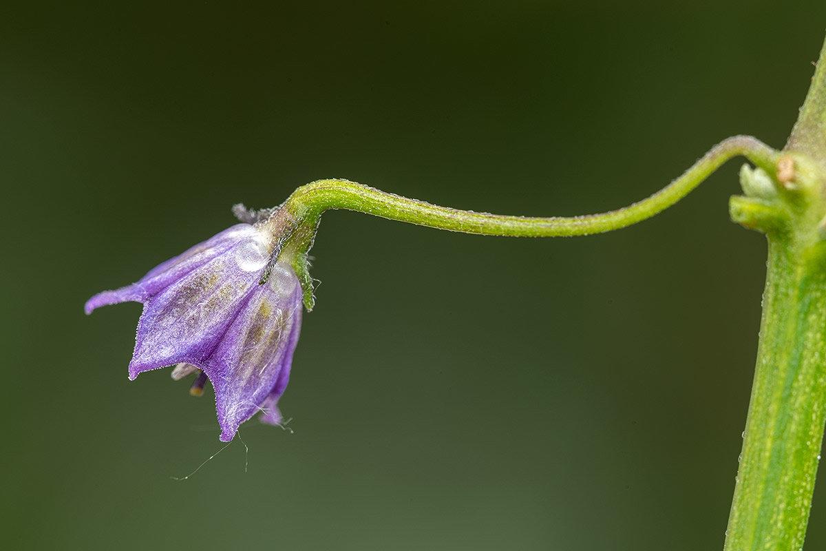 C.cardenasii-USDA-X-C.eximium-CAP-500.jpg.a1c35bd466b3f254d8bf1d78204d5d46.jpg