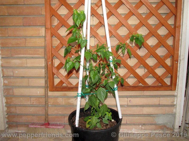 CumariVerdadeira013.jpg.3d7b7b6f01986a5a38936356ed4af499.jpg