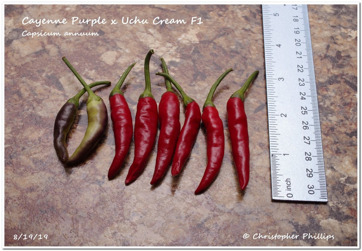 Cayenne Purple x Uchu Cream F1.jpg