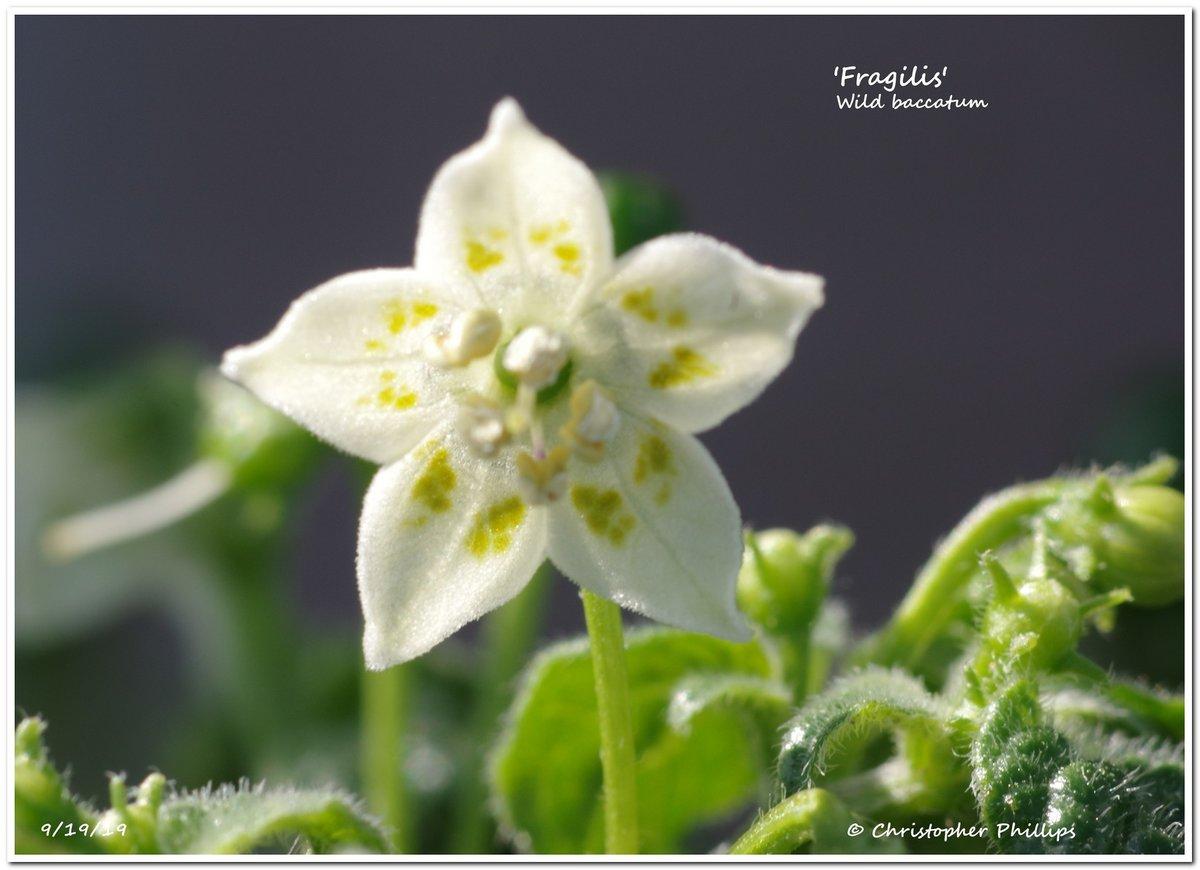 Capsicum fragilis.jpg