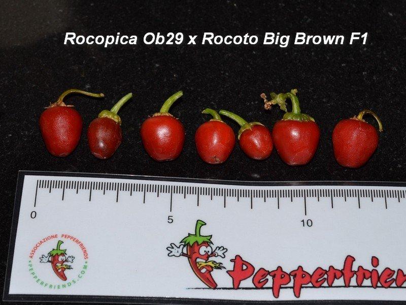 15 Rocopica OB29 x Rocoto Big Brown Frutti.jpg