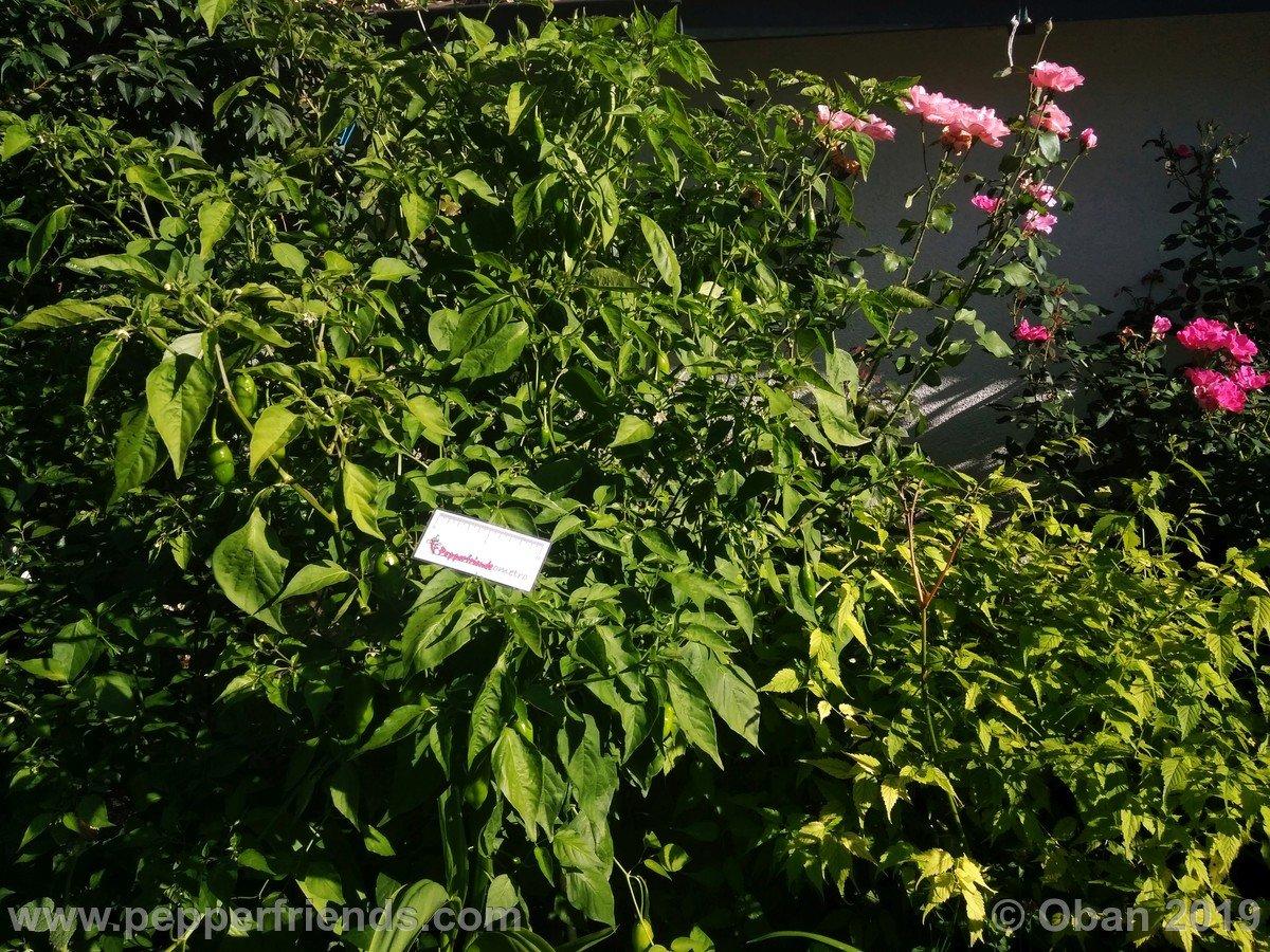 aji-amarillo-x-jamy-f1-ob02_001_pianta_08.jpg