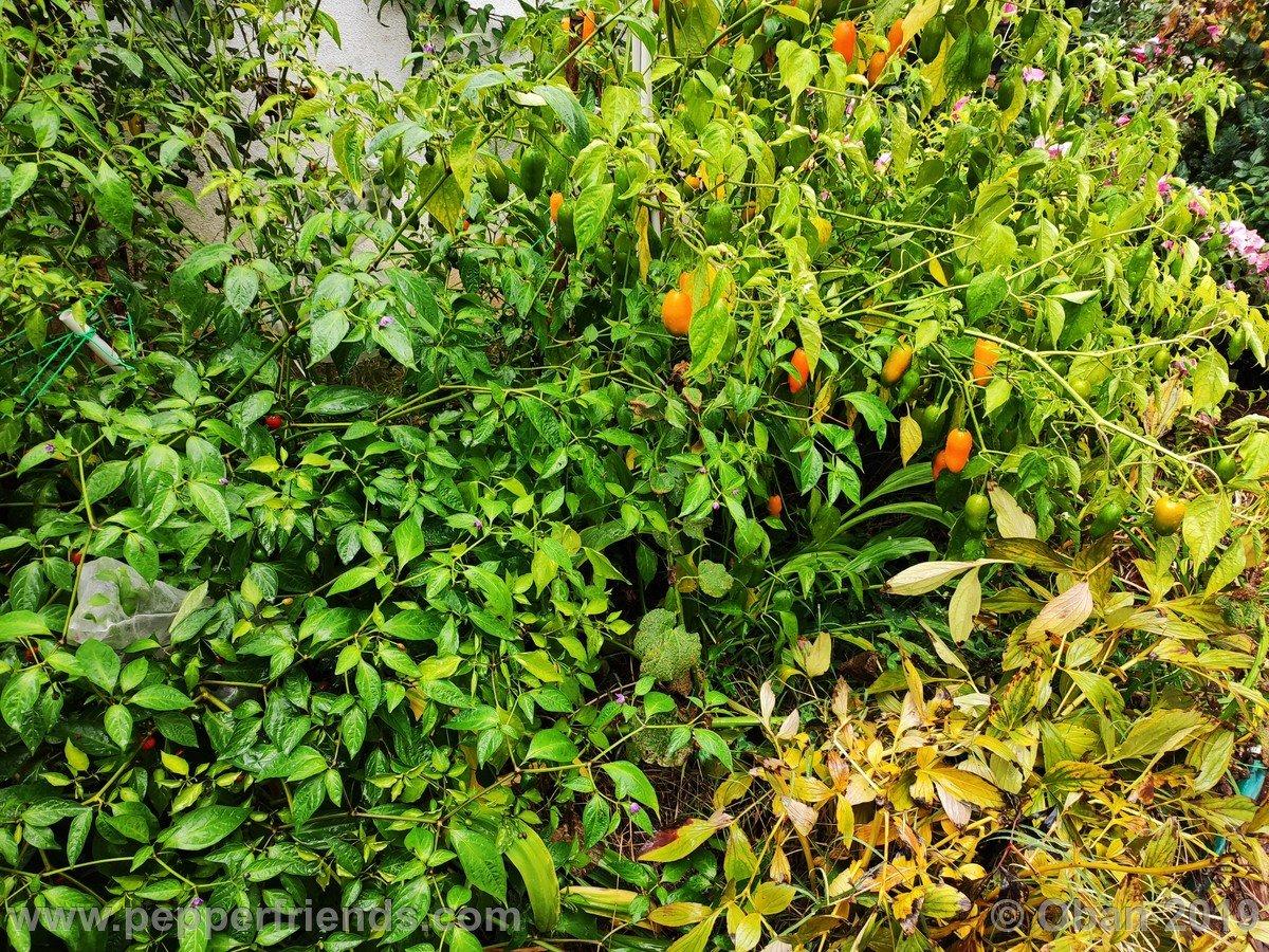 aji-amarillo-x-jamy-f1-ob02_001_pianta_13.jpg