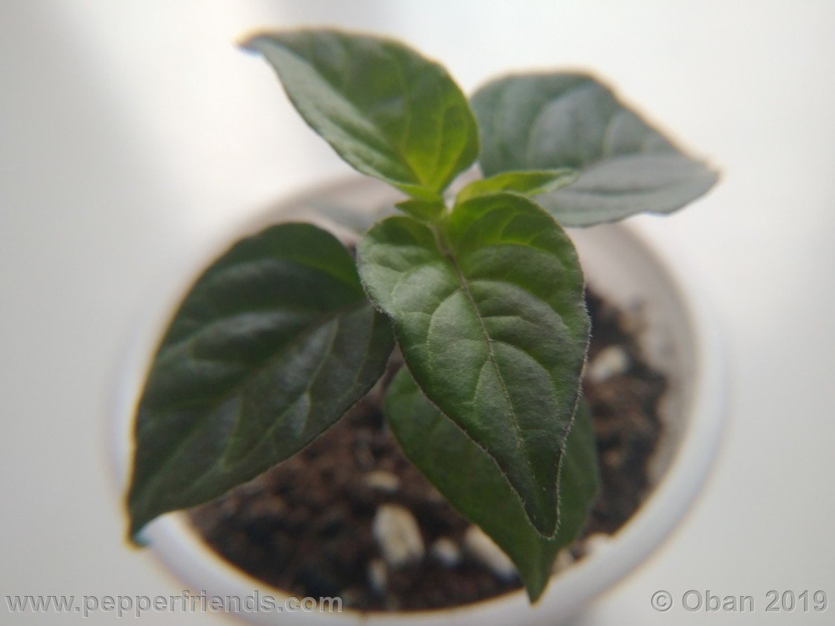 chiltepin-cappuccino-x-bhut-jolokia-mulatto-(f1)_001_pianta_02.jpg