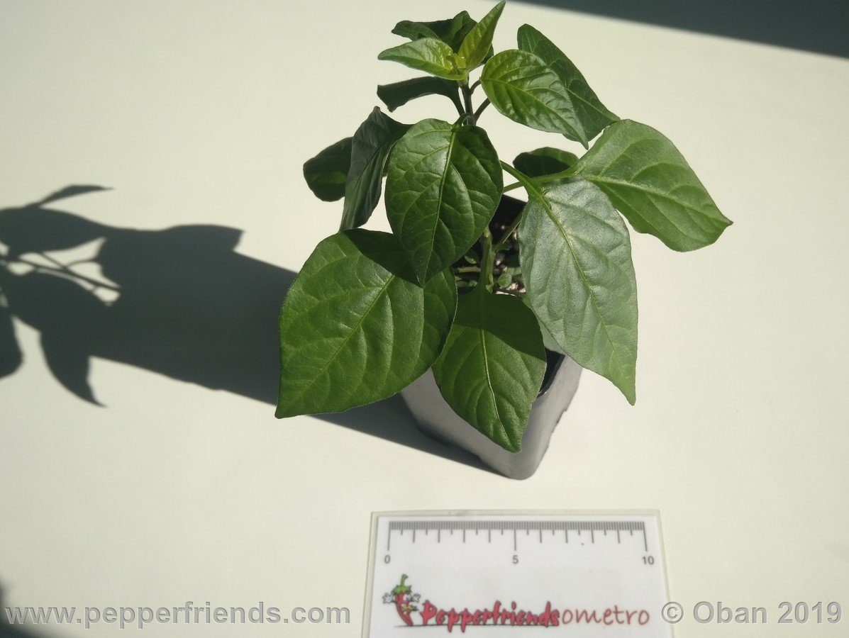 chiltepin-cappuccino-x-bhut-jolokia-mulatto-(f1)_001_pianta_06.jpg