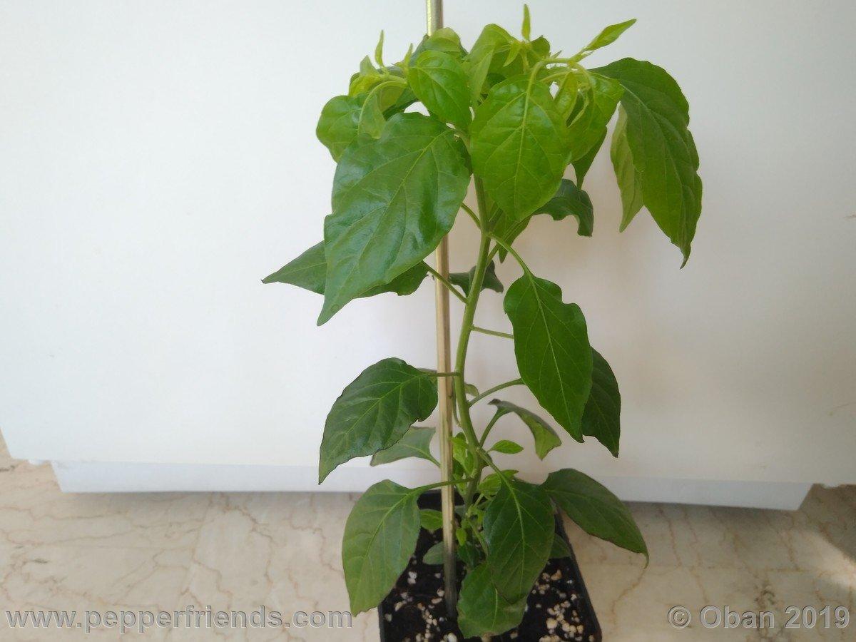chiltepin-cappuccino-x-bhut-jolokia-mulatto-(f1)_001_pianta_07.jpg