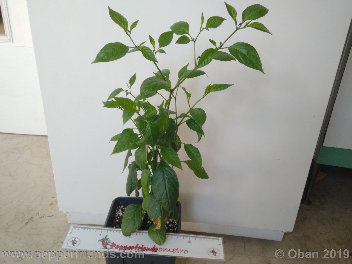 rocopica-ob29-x-rocoto-big-brown-f1-ob01_001_pianta_11.jpg